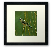 Female Bullfinch Framed Print