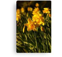 Daffodils with a difference Canvas Print