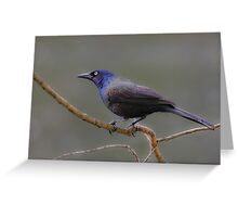 Common Grackle (male) Greeting Card