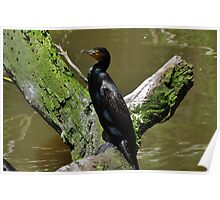 Great Cormorant (Phalacrocorax Carbo) Poster