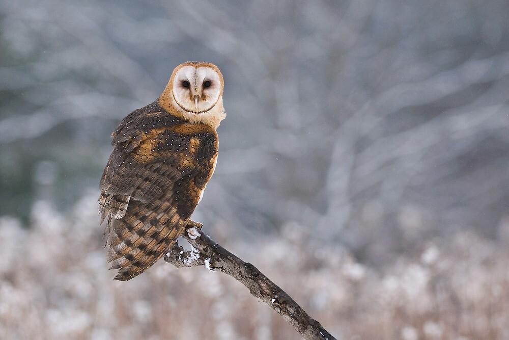 Barn Owl Hunting by Raymond J Barlow