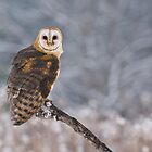 Barn Owl Hunting by Raymond J Barlow