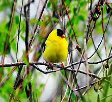 YELLOW MALE GOLDFINCH PICTURE-PILLOW AND VARIOUS APPAREL by ✿✿ Bonita ✿✿ ђєℓℓσ
