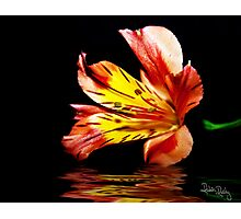 Reflection of a Lily Photographic Print