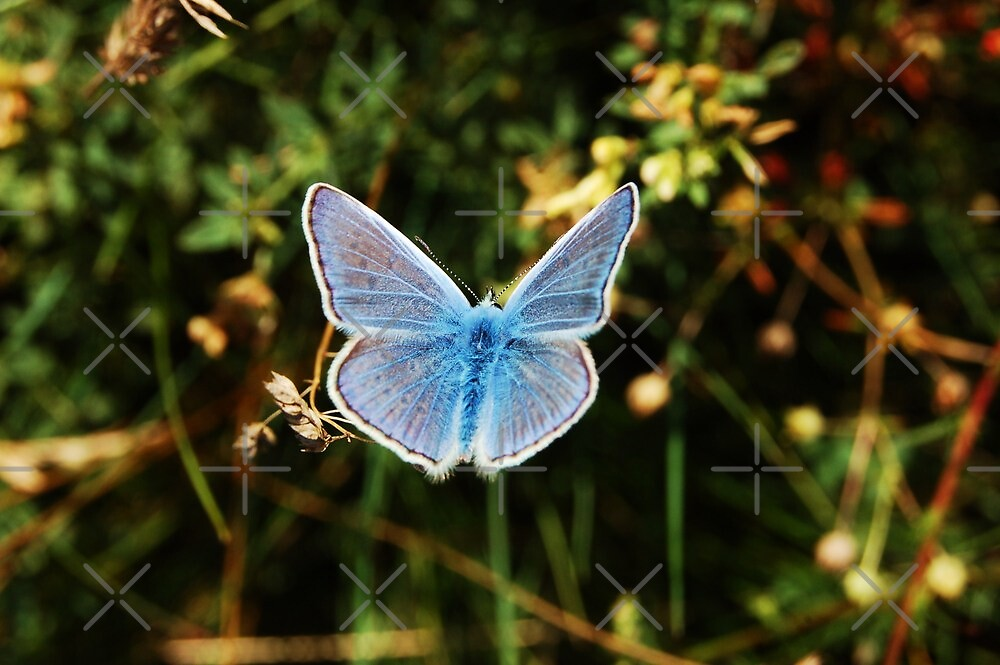 Common Blue - Male/ Dos Puntos/Polyommatus icarus/ by DorothyB