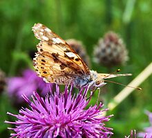 Painted Lady/ Bella Dama o Cardero/  Vanessa cardui by DorothyB