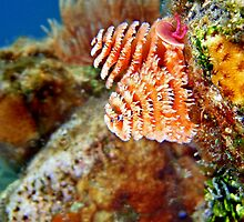 Christmas Tree Worm Macro 2 by Leon Heyns