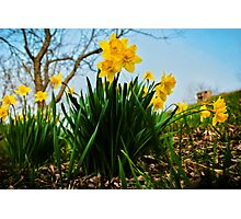Daffodils Have Arrived Photographic Print