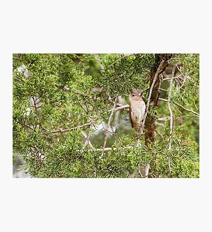 House wren sitting in cedar trees Photographic Print