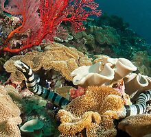 Banded Sea Krait off Port Moresby, Papua New Guinea by Erik Schlogl