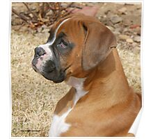 Fancy Fawn Boxer Profile Poster