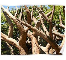 Baobab tree at Oregon Zoo Poster