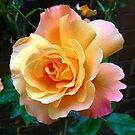 Orange and Pink Rose at Sunrise - Square Format by Kathryn Jones