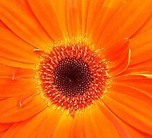 Tangerine Gerbera by rualexa
