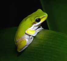 Eastern Dwarf Tree Frog by aussiecreatures