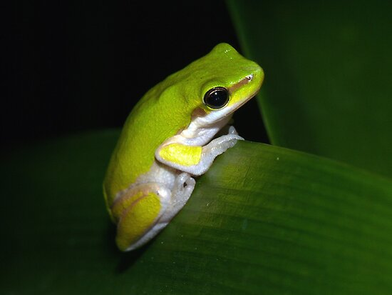 Eastern Dwarf Tree Frog by aussiecreatures