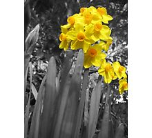Daffodils @ Dad's  Photographic Print