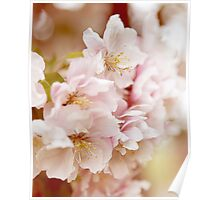 Double Cherry Blossom no. 2 Poster