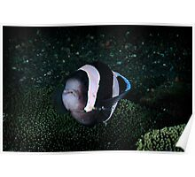 Panda Anemonefish with Cleaner shrimp Poster