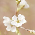 Cherry Blossom no. 1 by greenzinnia