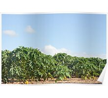 plantation of papaya fruit (carica) in Mauritius Poster