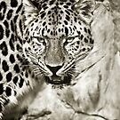 Leopard in Sepia by starbucksgirl26