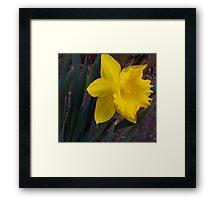 First Daffodil Framed Print