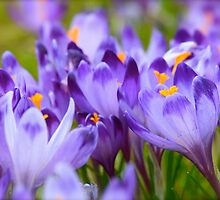 Less is more . Polish Spring -  Crocus Sativus/Safran. by Brown Sugar . Views: 1143 .Thanks Friends !!! by © Andrzej Goszcz,M.D. Ph.D