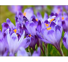 Less is more . Polish Spring -  Crocus Sativus/Safran. by Brown Sugar . Views: 1143 .Thanks Friends !!! Photographic Print