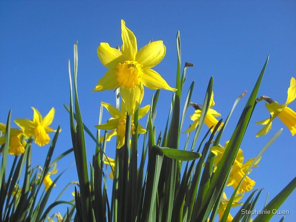 Delightful daffodils by Stephanie Owen