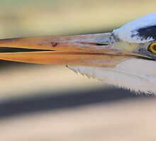 Grey Heron extreme close-up by DutchLumix