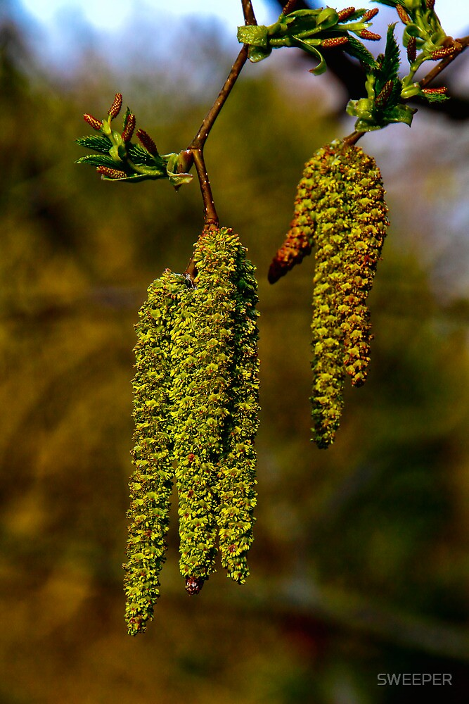 Catkins by SWEEPER