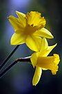 Daffodils in Spring by Darren Burroughs