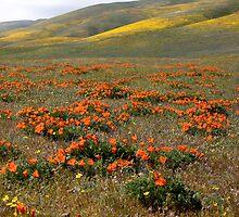 California Poppy's by Chris Perry