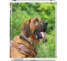 Bloodhound wearing a leather harness ready for work iPad Case/Skin