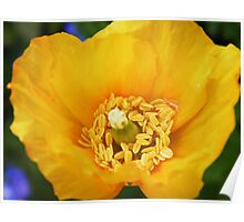 Poppy, 2 shades of yellow challenge Poster