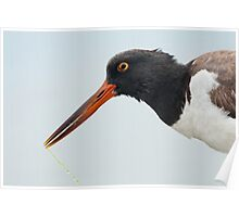 American Oystercatcher (Ft. Myers, Florida) Poster