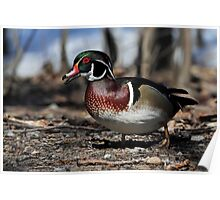 Wood Duck Drake In Dry Dock Poster