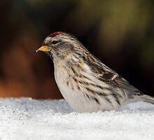Snowpoll / Common Redpoll by Gary Fairhead