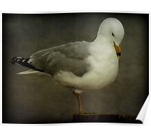 Elegance (Ring-billed Gull) Poster