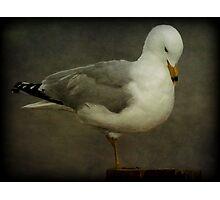 Elegance (Ring-billed Gull) Photographic Print