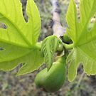 Fig Leaves by Jessica Hall