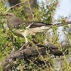 Northern Mockingbird by Kimberly Chadwick