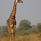 Giraffe by Steven Conrad