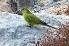 Rock Parrot by Ian Berry