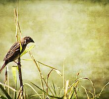 morning Sparrow by scottimages
