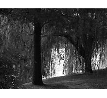 Wheeping Willow Photographic Print