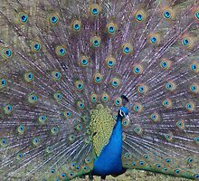 Shaking Tail Feather by RJGphotos
