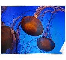 Sea Nettles - Atlanta Aquarium Poster