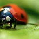 Ladybug Stare by Paul Revans